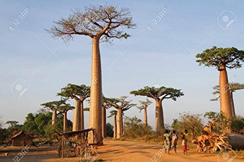 SANHOC 10 Samen Baobab-Baum-Samen Adansonia digitata. Kauf 1 ERHALTEN 1