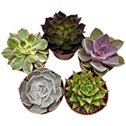 "Live Succulent Plants (5 Pack), 4"" Size Succulents Fully Rooted in Planter Pots with Soil - Unique Indoor Cactus Decor by The Succulent Cult"