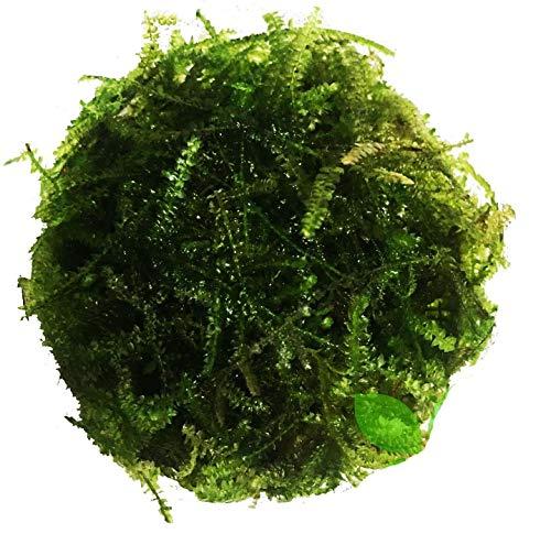 Planterest – Christmas Moss | Vesicularia Montagnei Easy Live Aquarium Plant Decorations BUY2GET1FREE