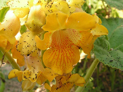 Portal Cool 50 Seeds: Giallo Diavolo Artiglio ibicella lutea Lutea 10-50 semi freschi