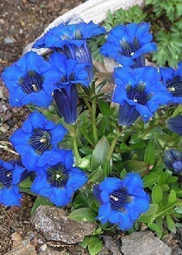 Tropica - Steingarten - Enzian (Gentiana accaulis 'blue') - 90 Samen