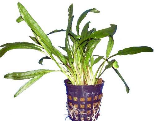 Wasserpflanzen Cryptocoryne Mutterpflanze