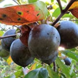 柿の苗木 品種:黒柿【品種で選べる果樹苗木 12~15cmポット/1個】(ポット植えなのでほぼ年中植付け可能)見た目が黒い黒実柿(くろみがき)とも言われる珍しい柿です。「金運招来」・「福徳円満」など、幸せを呼ぶ木としても縁起の良い柿で贈り物や記念樹として重宝されています。その見た目から観賞用として栽培されていることが多く、販売目的で栽培されている農家さんが少ないので、流通量が少なく、市場で見かけることがほとんどなく、幻の柿とも言われています。【自社農場から新鮮苗直送!!】【即出荷】