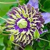 Plantas Cama Con Bombillas Fuertes Ornamentales Impresionante Jardín Magnífico Rebrote-12Rizoma de clemátide