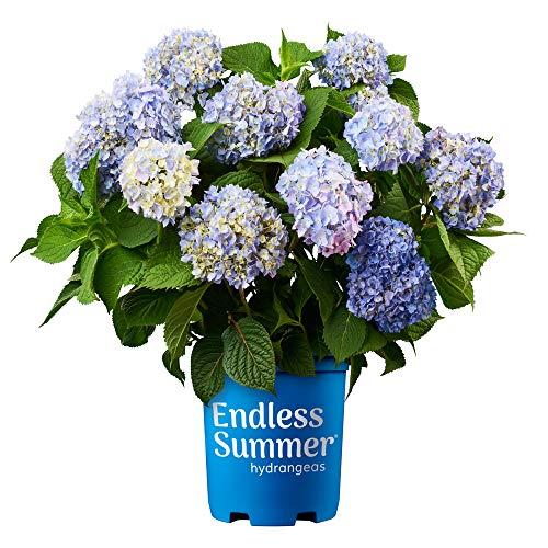 Endless Summer Original Hydrangea, 1 Gal Original Hydrangea, 1 Gal