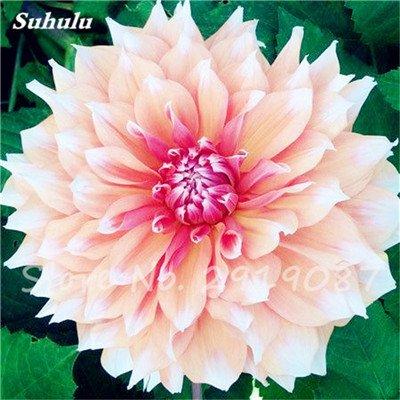 50 Pcs rares Graines Bonsai Dahlia (non Dahlia Bulbes) Mixte magnifique Fleurs chinois Balcon Plante en pot Maison et jardin 12