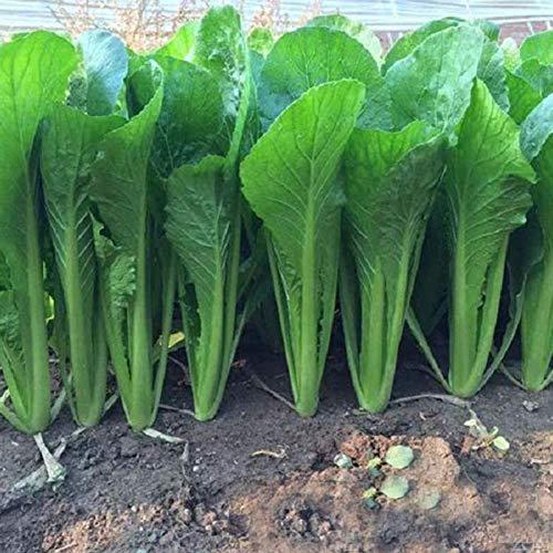 Planta Vegetal Del Patio De La Nutrición De Las Semillas De La Col China 3000Pcs Semillas de Pak Choi