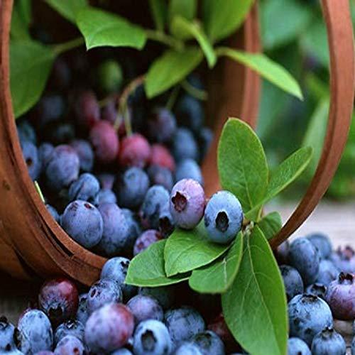 Yukio Samenhaus - Bio Trauben-Heidelbeere 'Reka Blue' Saatgut groß & knackig mit typisch intensivem Heidelbeer-Aroma für den Hausgarten