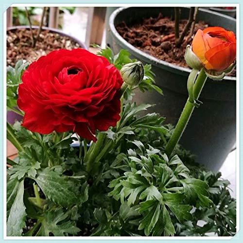 Ranunculus Bulbs - Perennial Home Potted Perennial Rare Species Exotics Charming Gorgeous,Red,20 Bulbs