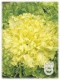 Escarola verde de escarola con corazón completo Cichorium endivia Semillas Semillas Huerto Huerto Huerto