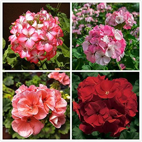 100pcs Mix Mehrjährige Geranium Samen Für Home Gartenarbeit Pflanzung Schöne Cut Blumen Garten Hof Dekoration Einfach Zu Pflege