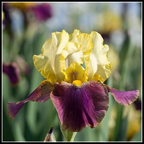Iris tectorum Maxim,Bombillas De Iris, Colores Brillantes, Patrones Florales Peculiares, Decoraciones,Bonsai Perenne único,Hermoso Plantado En El Patio-3 Bulbos,1