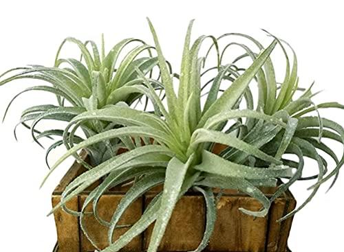 Künstliche Tillandsien Luftpflanzen, künstliche Sukkulenten, Bromelien, 3 Stück