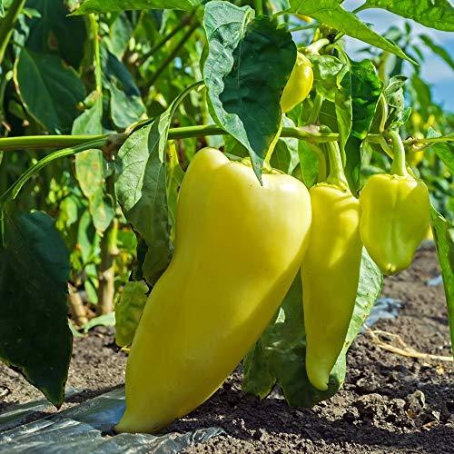Samen für ca. 20 Pflanzen Zlata Paprika - robuste Sorte, mittelfrüh
