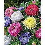 カリフォルニアアスター、ジャイアンツ25+種子オーガニック、美しい鮮やかな明るいブルーム