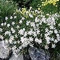 Outsidepride Dianthus - Arenarius
