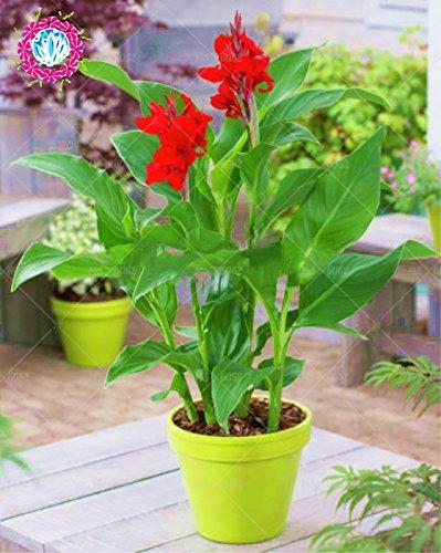 5pcs Canna indica seeds.Perennial énorme fleur d'herbes en pot pour les graines rougeâtres maison et jardin brun plant.Lily Variété Bonsai Seed 1
