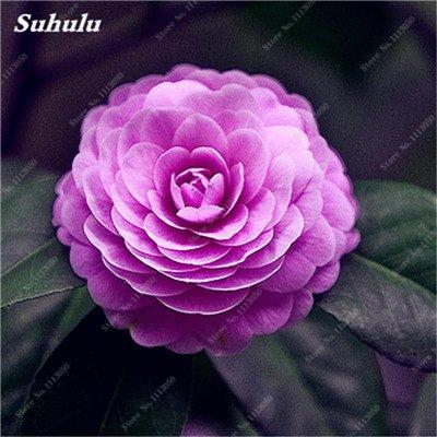 Grosses soldes! 10 Pcs Camellia Graines, Graines Bonsai Fleur, couleur rare, bonsaïs d'intérieur / extérieur Plante en pot pour jardin Facile à cultiver 8