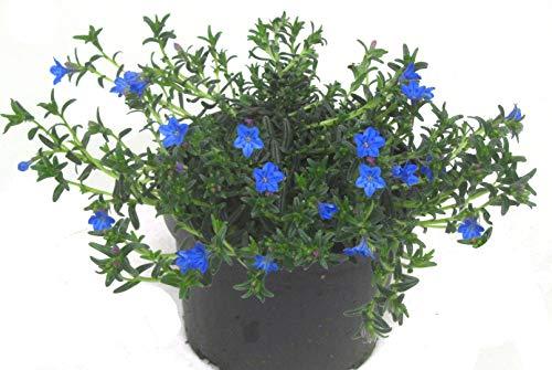 Lithodora Diffusa - Steinsame, blühend, winterhart, immergrüne Staude, für Beet, Balkon, Bodendecker, Steingarten Pflanze im 12 cm Topf