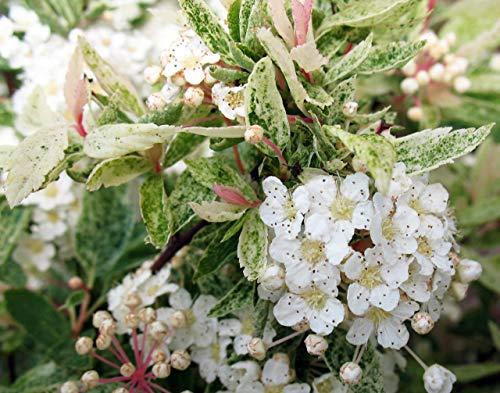 FERRY HOCH KEIMUNG Seeds Nicht NUR Pflanzen: Spiraea X Vanei * Pink * 3.5