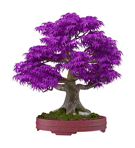 Rare 10Pcs Purple Maple Seeds Bonsai Ornamental Plants Garden Indoor Decoration