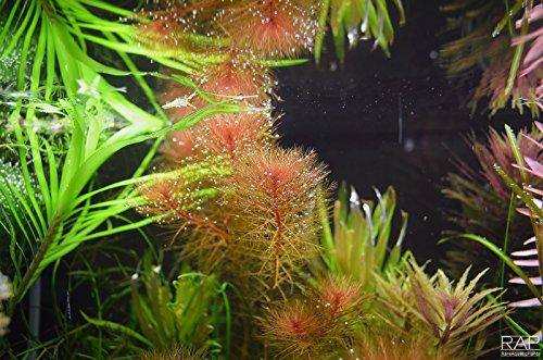 Rotes Tausendblatt / Myriophyllum mattogrossense - 1 Bund