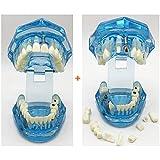 WJH 2 Piezas dentales análisis del Estudio de implantes Dientes demostración reparación Modelo Delanteras del Puente Porcelana Chapa Posterior demostración Caries Dental estándar de Herramientas