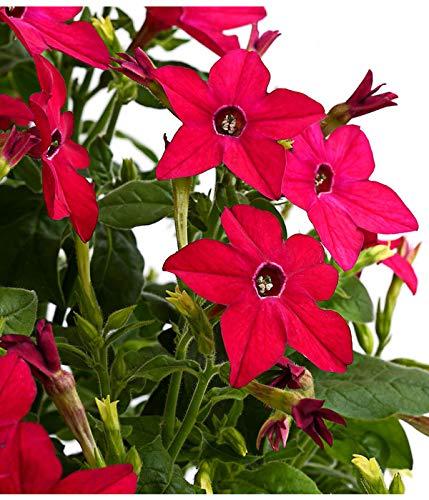 AIMADO Samen-20 Pcs Bio Ziertabak Samen,trompetenartige Blüten mit betörender Duft Blumensamen ideal für Beete, Rabatten und Tröge