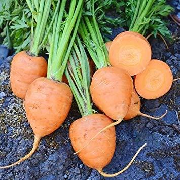 PlenTree 1 Gramm Saaten von Rondo Karotten