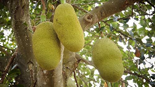 Jackfrucht Artocarpus heterophyllus Pflanze 35-40cm Jakobsfrucht Jackfruchtbaum