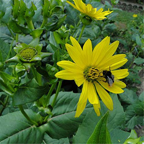 TENGGO Egrow 50 Teile/Paket Silphium Samen Silphium Perfoliatum Gras Pflanze Hausgarten Dekoration