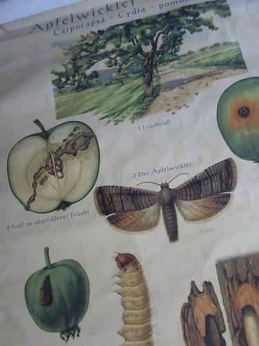 Apfelwickler-Obstmade. Carpocapsa - Cydia - pomonella L.