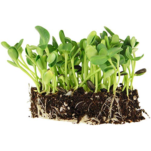 1.5 Lb Organic Non-GMO Black Oil Sunflower Microgreens Seeds and Sprouting Seeds (Shell On) - Edible Sun Flower Micro Green Seeds, Organic Sprout Seeds, Seeds for Sprouting, and Sprout Mix