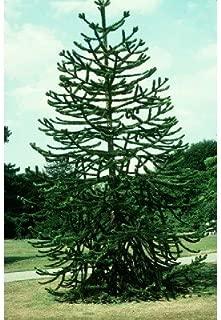 5 Monkey Puzzle Tree Seeds, Araucaria Araucana