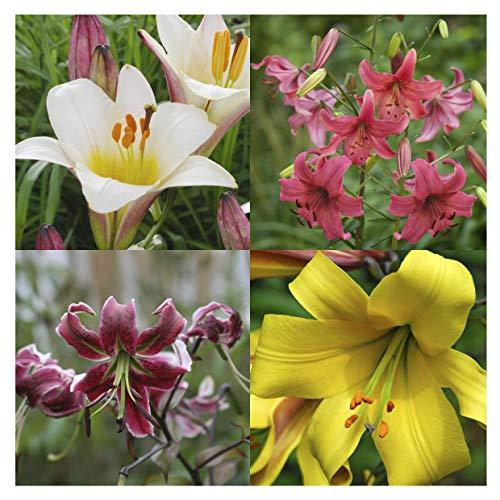 10 echte Lilienzwiebeln in verschiedenen Farben - Blumenzwiebeln in Geschenkverpackung - mehrjährig, gartenpflanzen winterhart Knollen Lilium Lilien - Hohe Qualität (10 Lilien Zwiebel Mix)