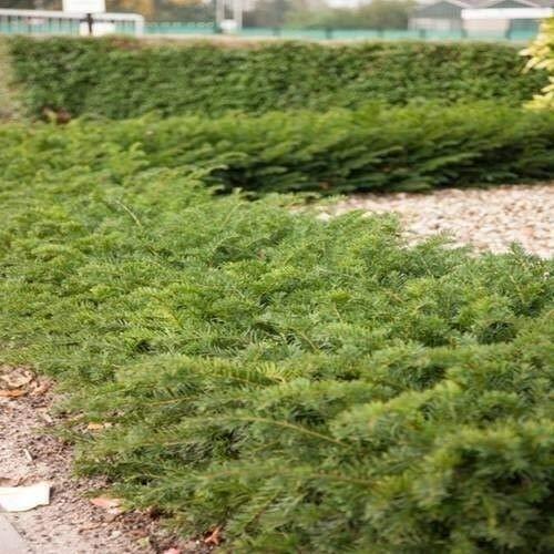 1 x Taxus baccata 'Repandens' 20-30 cm (Bodendeckereibe) ab 1,99 € pro St.