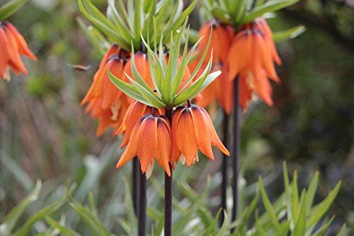 5 Kaiserkronen Fritillaria Imperialis Aurora Blumenzwiebeln
