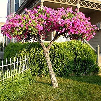 VISTARIC 6: de Canna indica seeds. Perennial énorme fleur en pot herbes graines pour brun rougeâtre Maison et jardin plant. Lily Variété Bonsai Seed 6