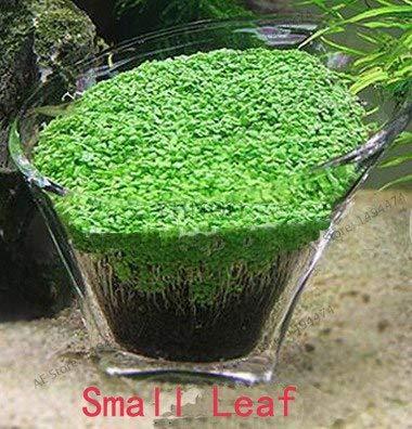 Pinkdose PLAZO !! acuario 500 PC Hierba Glossostigma Hemianthus callitrichoides bonsai Agua Mini hoja de plantas vivas del acuario Decoratio: Pequeña hoja
