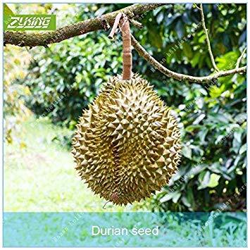 ZLKING Delicious 5 Stück Durian-Baum Bonsai König der Früchte im Freien Rare Interessante Pflanze Nährwert Garten Überraschung