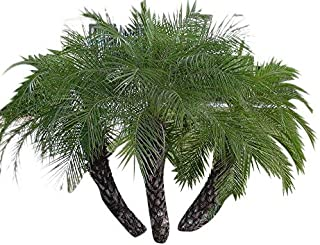 10 Dwarf date palm seeds (Phoenix roebelenii) ->Seller Samenchilishop(World)