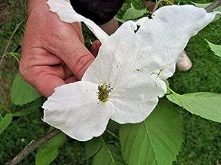 3 Dove Tree Seed PODS - Davidia involucrata (30 Seeds)