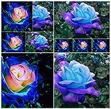 50 Blue Dragon Rose Seeds ,Rare Beautiful Stripe Rose Bush Plant,Garden or Yard Flower