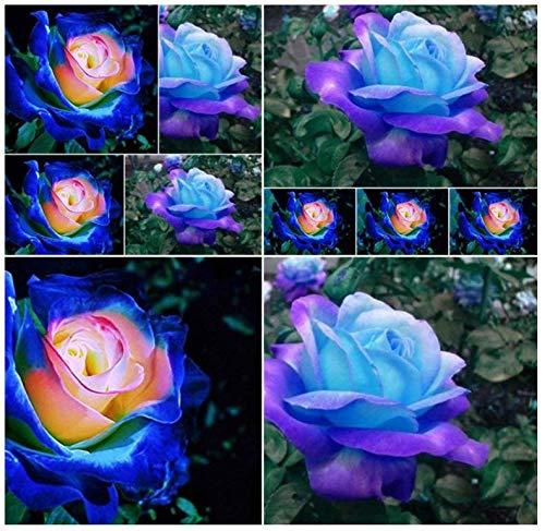 50 Blue Dragon Rose Seeds ,Rare Beautiful Stripe Rose Bush Plant,Garden or Yard...
