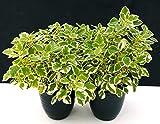 INCENSO, PLECTRANTHUS IN VASO 14cm, 2 PIANTE, piante vere