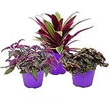 Purple Plant Trio - 3 verschiedene Pflanzen mit lila Blättern - 12 cm Topf