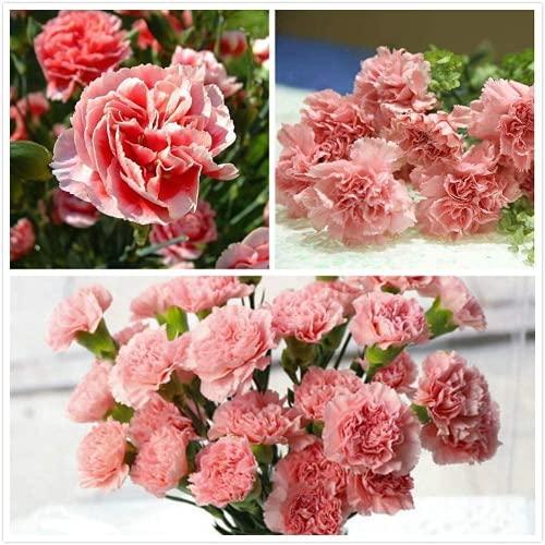 50pcs Rosa Nelke Samen Jährliche Blume...