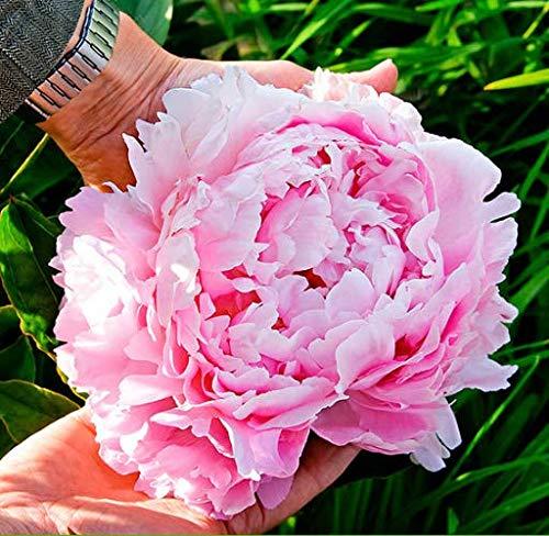 Acecoree Samen Haus- Pfingstrosen Samen 16 Farben Riesen Pfingstrose Blumen Saatgut winterhart mehrjährig Schnittblumen Blumensamen bienenfreundliche für Balkon, Garten