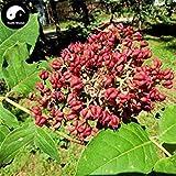 Kaufen Evodia Baumsamen 400Pcs Pflanze Evodia daniellii Baum Chou Tan Für Wu Zhu Yu