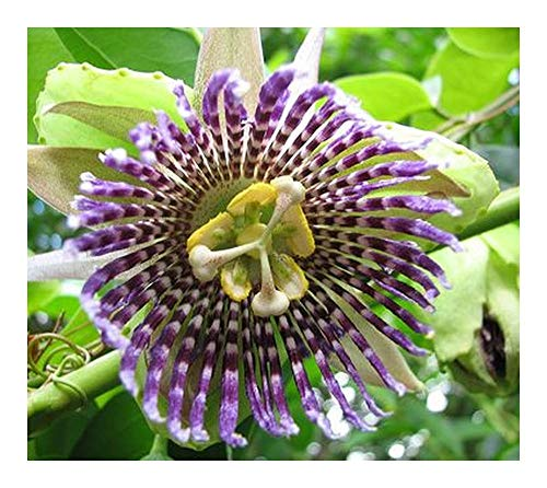 Passiflora ligularis - Grenadille - Granadilla - Fruit de la Passion - 10 graines